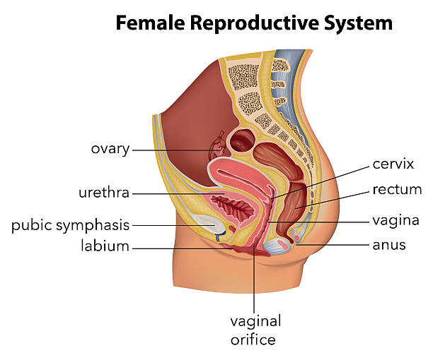 34 014 Female Reproductive System Stock Photos Pictures Royalty Free Images Istock