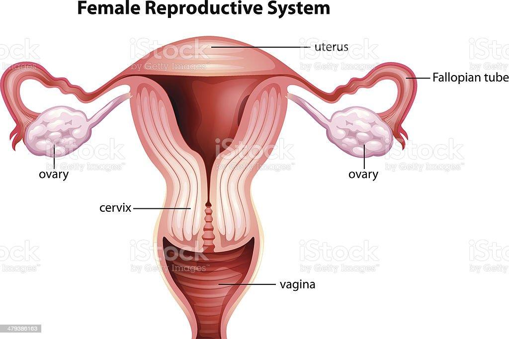 Ilustración de El Aparato Reproductivo Femenino y más banco de ...