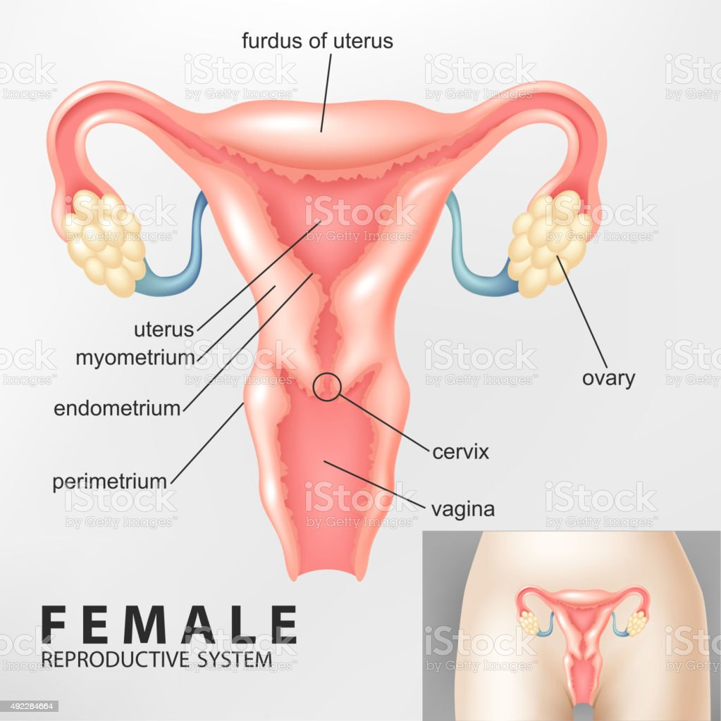 Female reproductive system vector art illustration