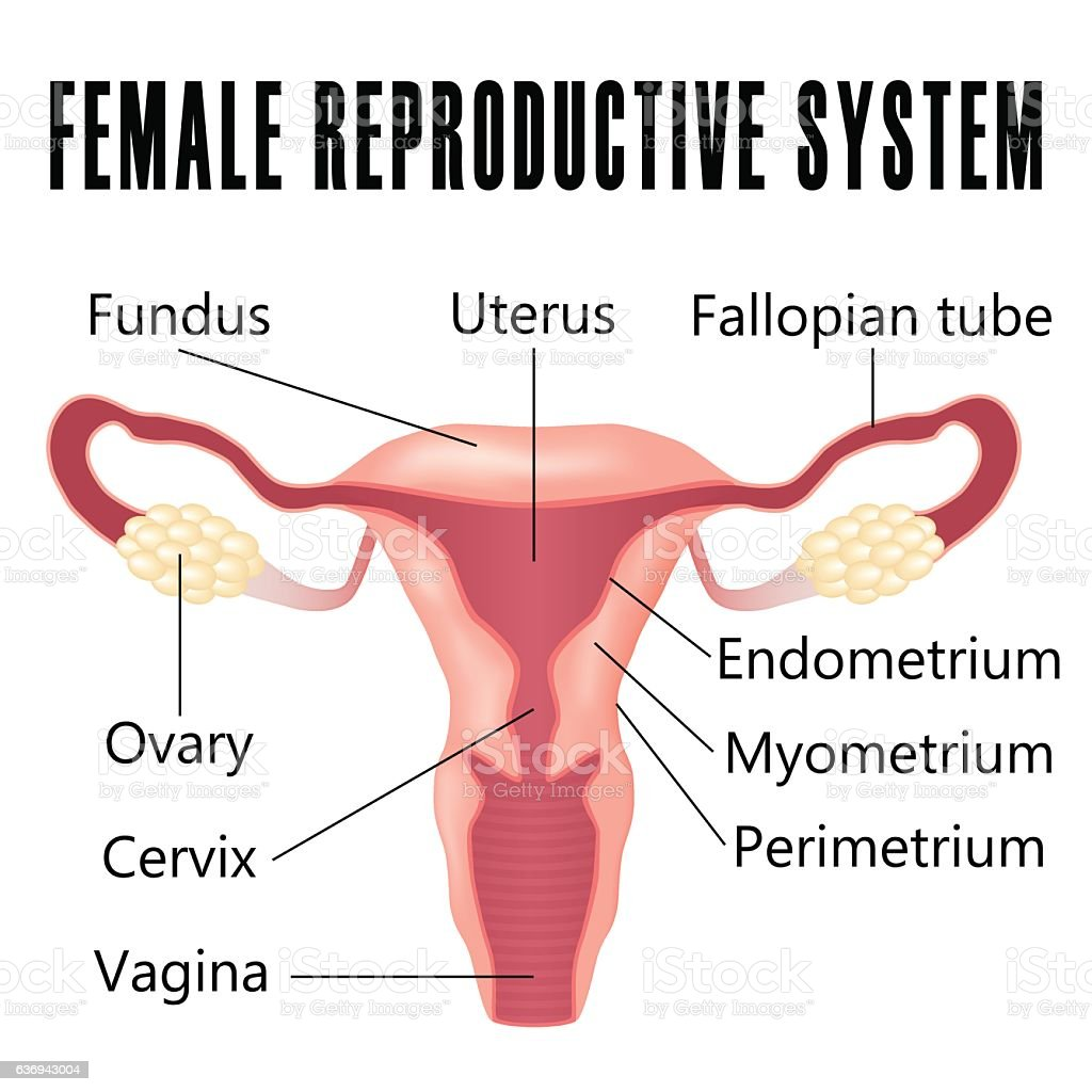 Female Reproductive System Stock Vector Art More Images Of Anatomy
