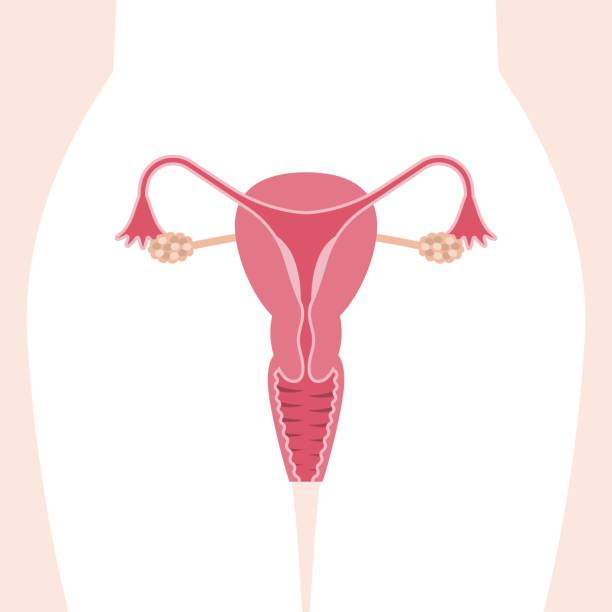 female reproductive system Vector female reproductive system, flat design uterus stock illustrations