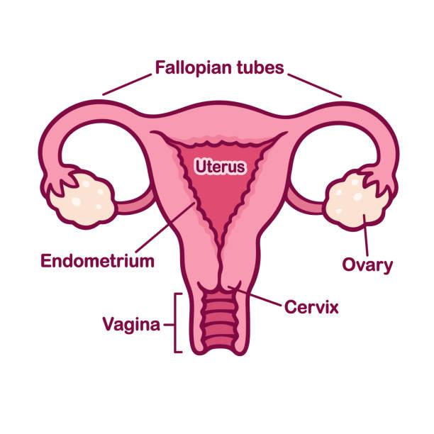 Weiblichen Geschlechtssystem Systemdiagramms Anatomie Stock Vektor ...