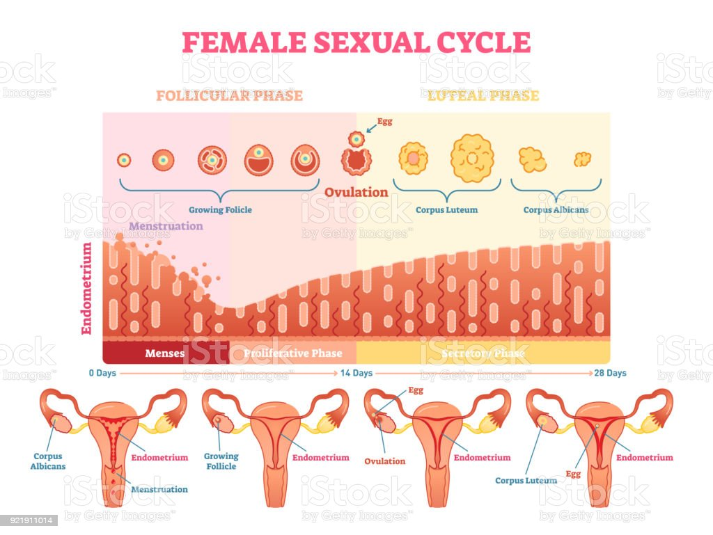 Female sexual cycle vector illustration graphic diagram with menstruation and ovulation chart and uterus. royalty-free female sexual cycle vector illustration graphic diagram with menstruation and ovulation chart and uterus stock illustration - download image now