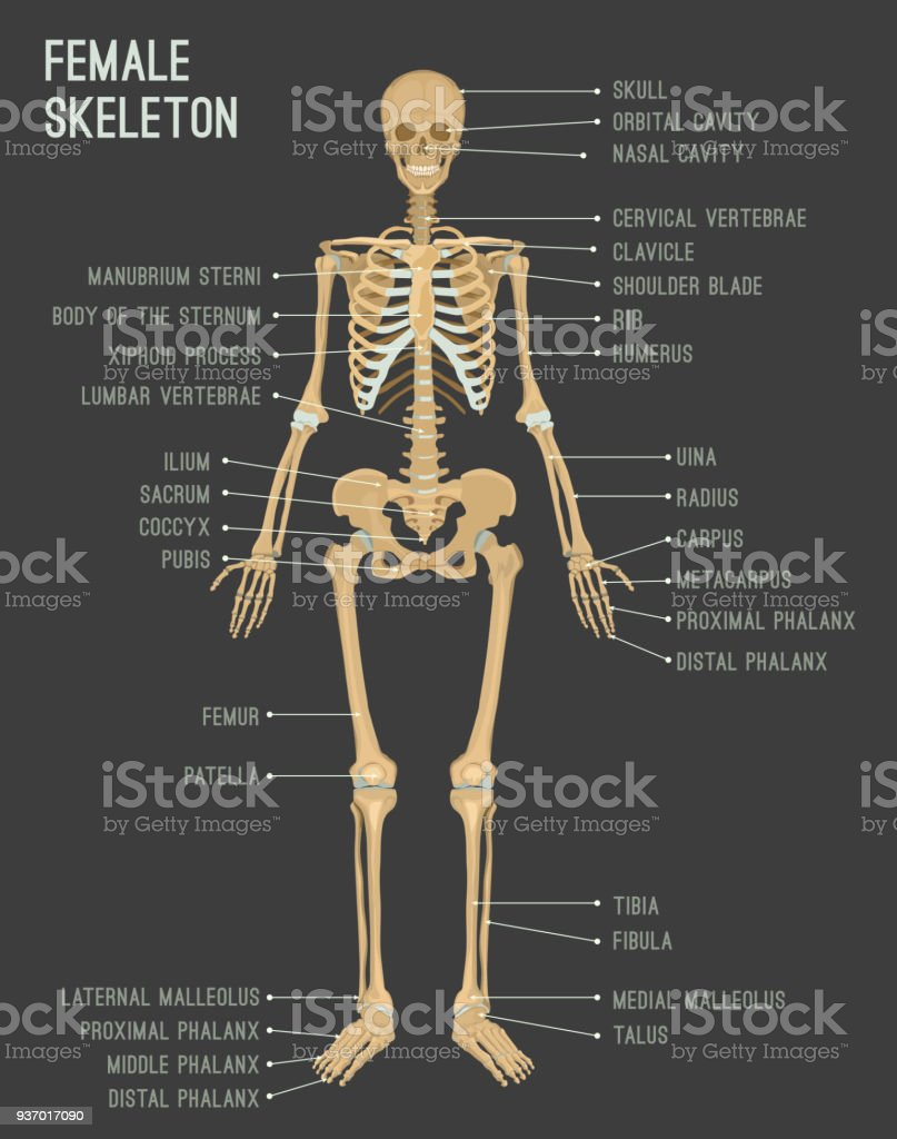 Female Skeleton Image Stock Vector Art More Images Of Adult