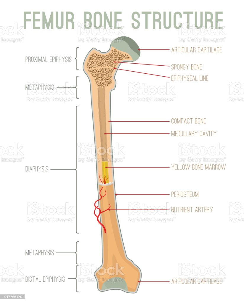 royalty free femur clip art vector images amp illustrations