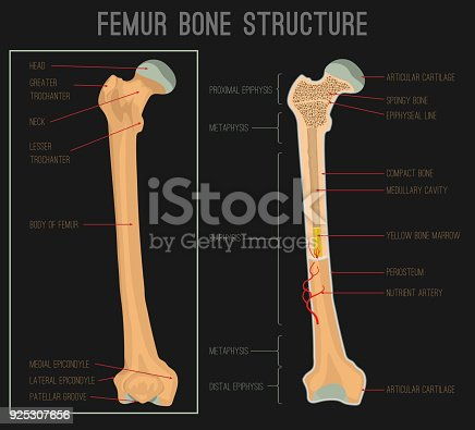 Femur Bone Structure Stock Vector Art More Images Of Anatomy