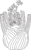 Vector illustration of fennel.