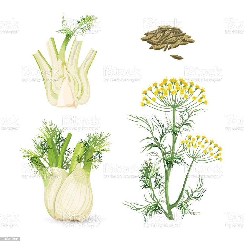 Fennel flowering plant perennial herb with yellow flowers, feathery leaves vector art illustration