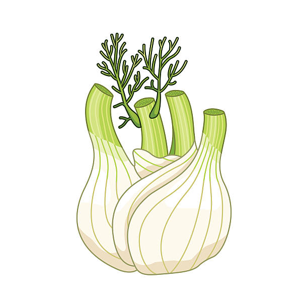 Fennel vector colored botanical illustration Fennel vector colored botanical illustration. Product to prepare delicious and healthy food. Isolated on white background. fennel stock illustrations
