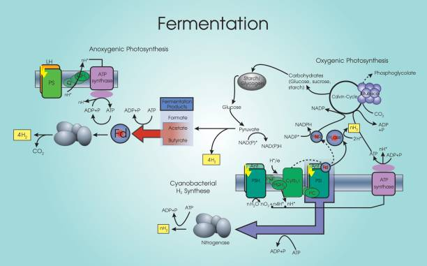 fermentation of yeast with different carbohydrates Using yeast, smith fermentation tubes and different sugars are carbohydrates that can be of the nature of substrate on cellular respiration of yeast.