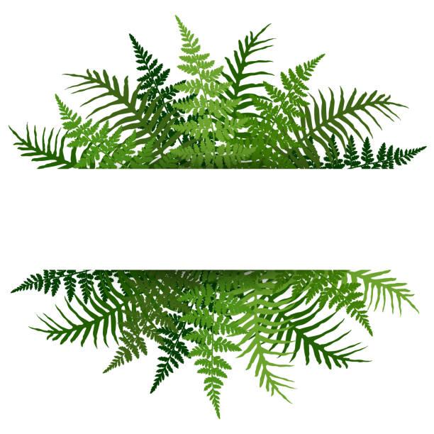 stockillustraties, clipart, cartoons en iconen met fern frond tropische verlaat frame vector illustratie. bush plant laat decoratie op witte achtergrond. - varen