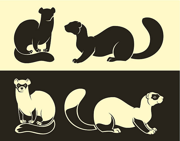 Ferret Set of four ferrets. Each animal on separate layer. ermine stock illustrations