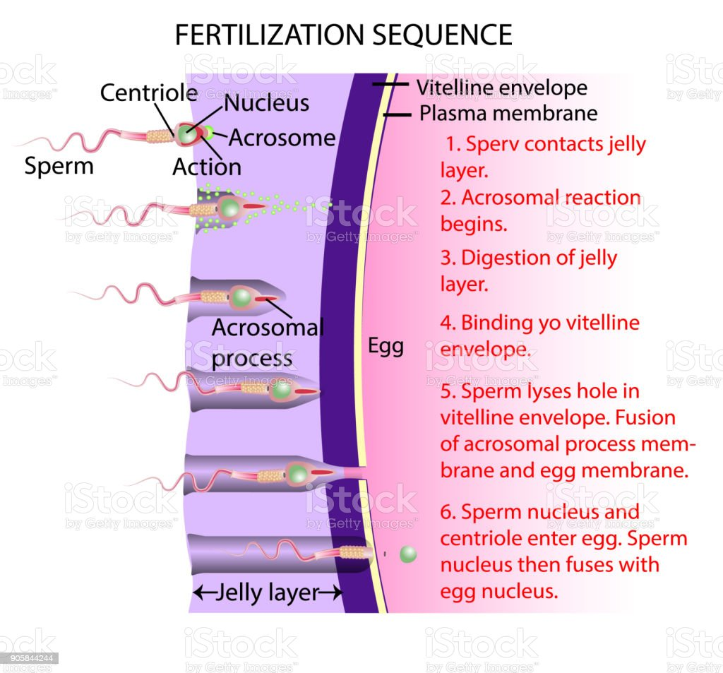 the ovum is the