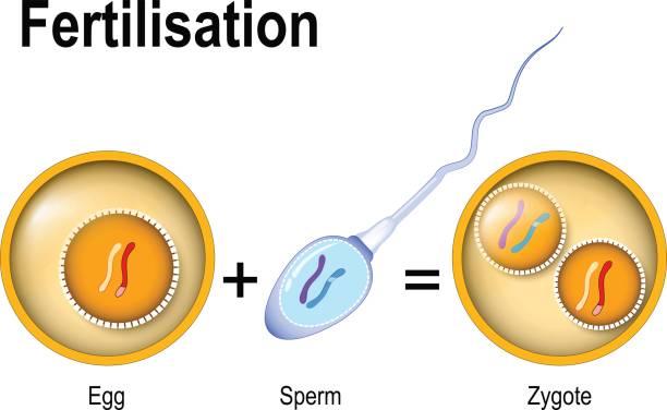 befruchtung. zygote ist ei plus sperma - eizelle stock-grafiken, -clipart, -cartoons und -symbole