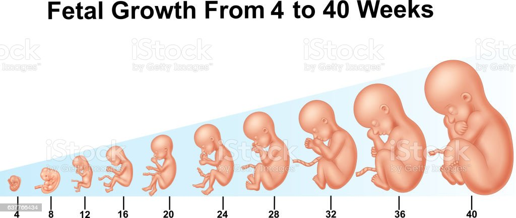 Fetal growth from 4 to 40 weeks vector art illustration