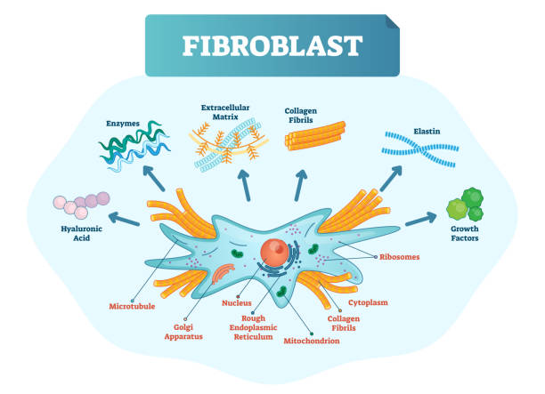 Fibroblast vector illustration. Scheme with extracellular, collagen fibrils, elastin, hyaluronic acid, microtubule, golgi apparatus, nucleus and ribosomes. Fibroblast vector illustration. Microscopic close-up with extracellular, collagen fibrils, elastin, hyaluronic acid. Scheme with microtubule, golgi apparatus, nucleus, mitochondrion and ribosomes. mitochondrion stock illustrations
