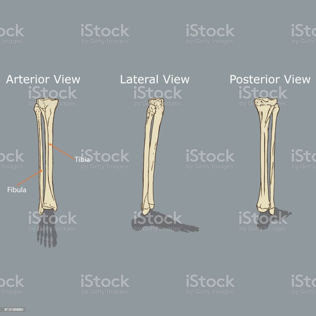 Fibula Und Tibia Anatomie Stock Vektor Art und mehr Bilder von ...