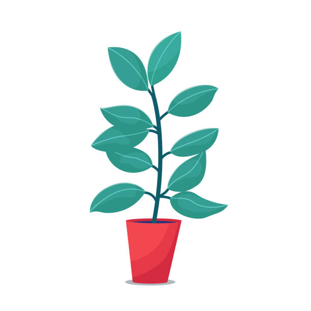 Ficus, rubber plant houseplant in red flowerpot Ficus, rubber plant houseplant in red flowerpot, flat style vector illustration isolated on white background. Single focus house plant in big pot potted plant stock illustrations