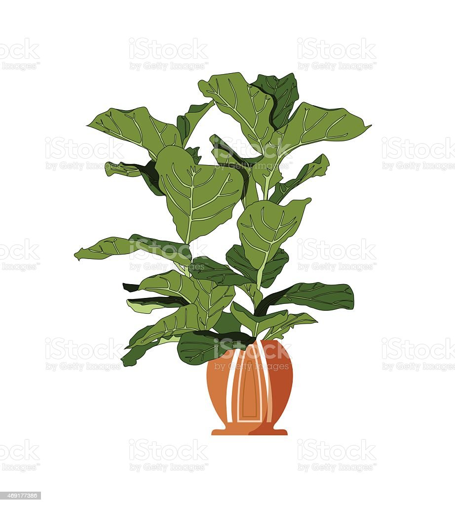 fiddle leaf fig tree planted in a round pot stock vector art