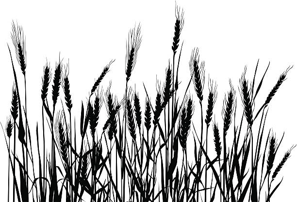 Field Bw composition with cereal plants. corn crop stock illustrations