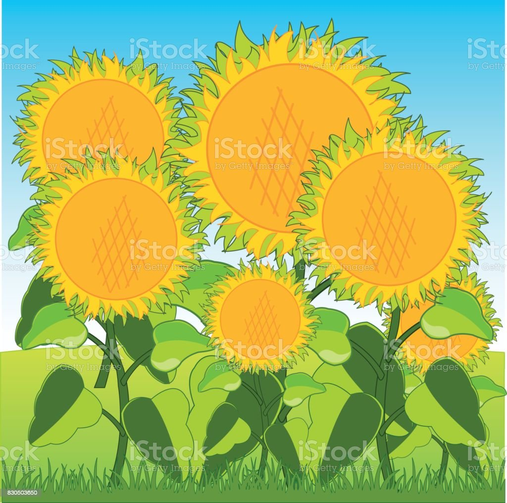 Field with sunflower vector art illustration