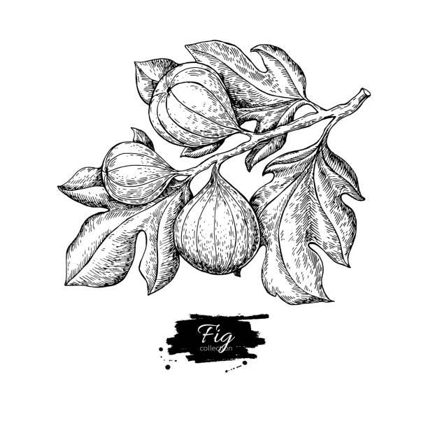 bildbanksillustrationer, clip art samt tecknat material och ikoner med fig gren vektorritning. hand dras isolerade frukt. sommaren foo - fikon