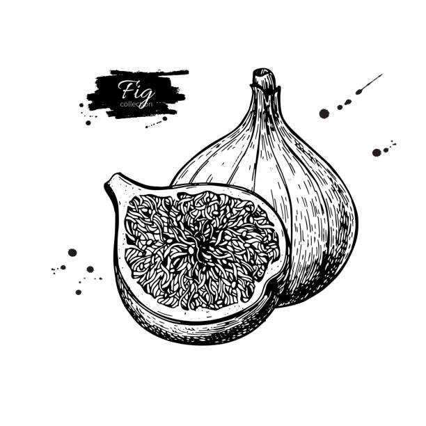 Fig vector drawing. Hand drawn fruit and sliced piece. Summer fo Fig vector drawing. Hand drawn fruit and sliced piece. Summer food engraved style illustration. Detailed vegetarian sketch. Great for label, poster, print, menu fig stock illustrations