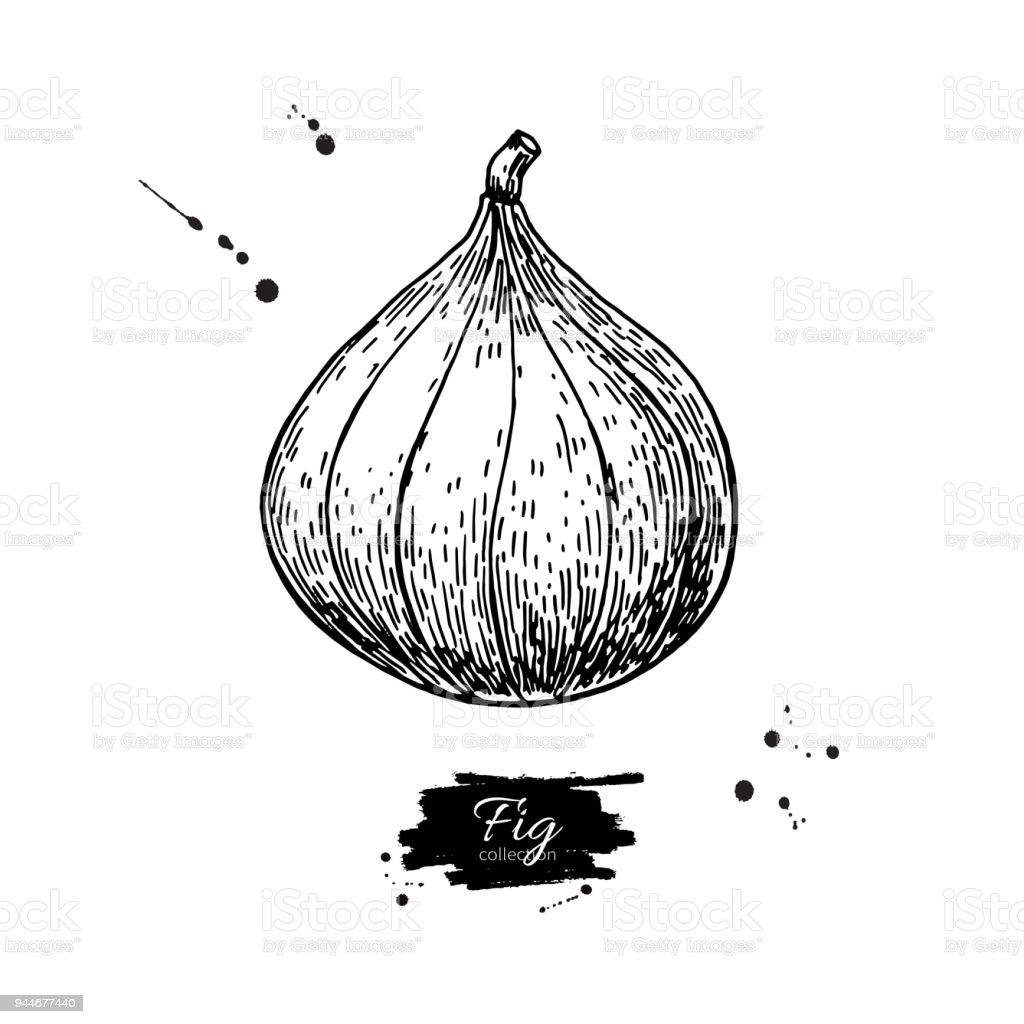 Incir Vektör çizim El Izole Meyve çekilmiş Yaz Gıda Stok Vektör