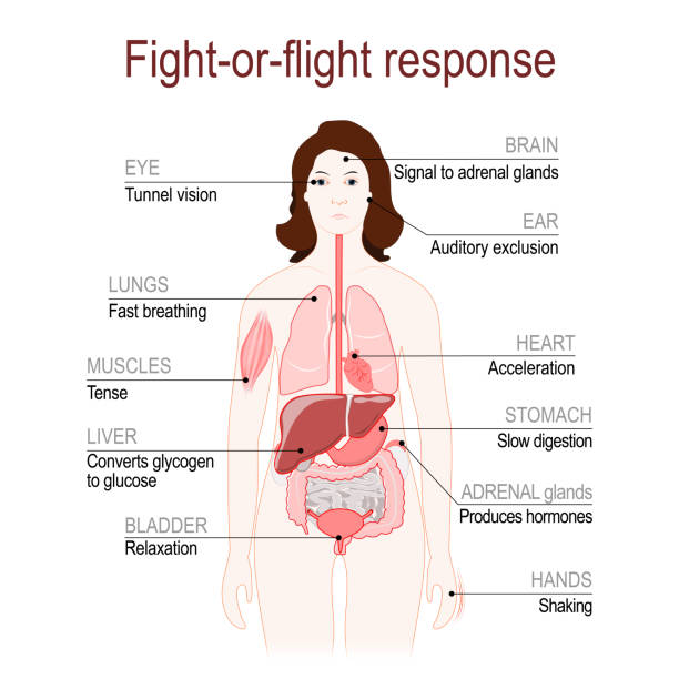 fight-or-flight response. stress response system. fight-or-flight response is a physiological reaction that occurs in response to threat to life. stress response system. Adrenaline and Norepinephrine. female silhouette with highlighted internal organs. Vector diagram hormone stock illustrations