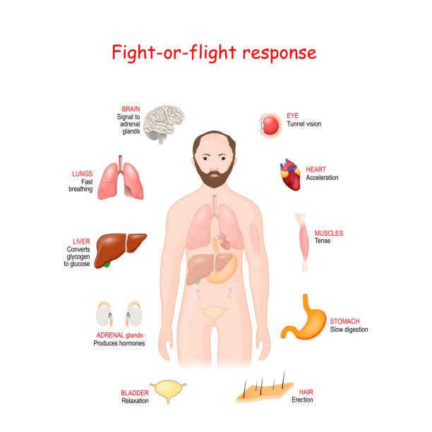 fight-or-flight. Stress response system vector art illustration