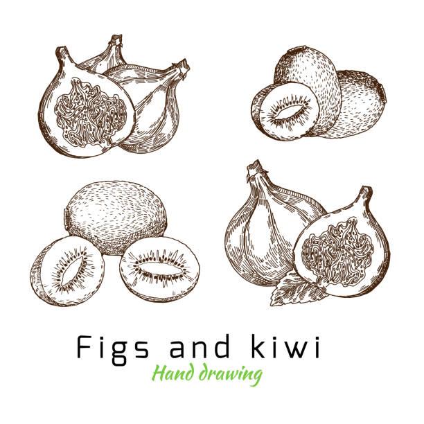 bildbanksillustrationer, clip art samt tecknat material och ikoner med fikon och kiwi, vektor hand ritning - kivik
