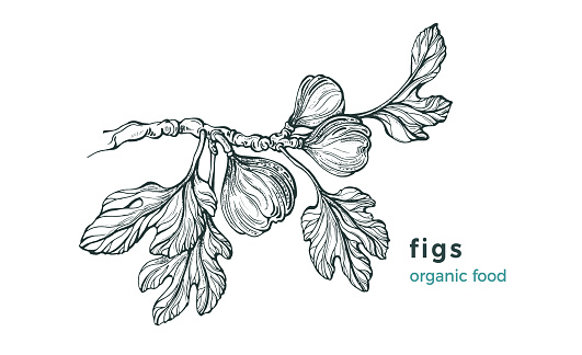 Figs branch. Vector nature tree, raw fruit. Sketch