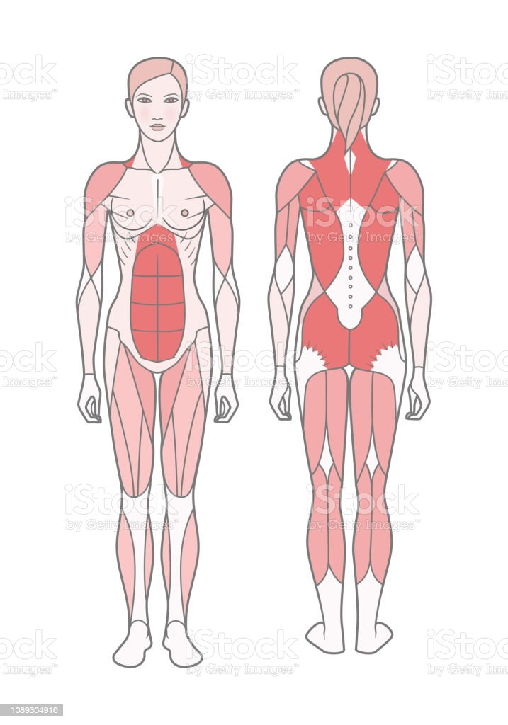 Figure Of The Woman The Scheme Of The Basic Trained Muscles Stock