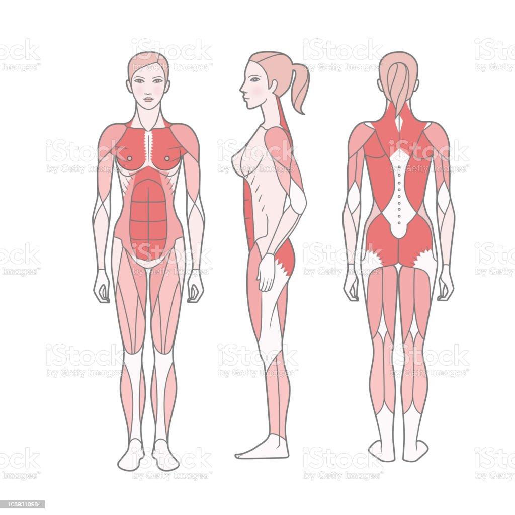 女性は基本的な訓練を受けた筋肉の仕組みの図 イラストレーションの