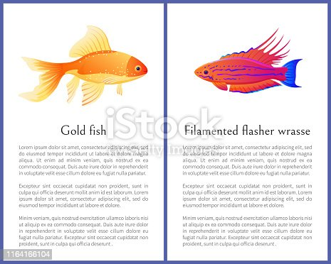 istock Filamented Flasher Wrasse and Gold Fish Posters 1164166104