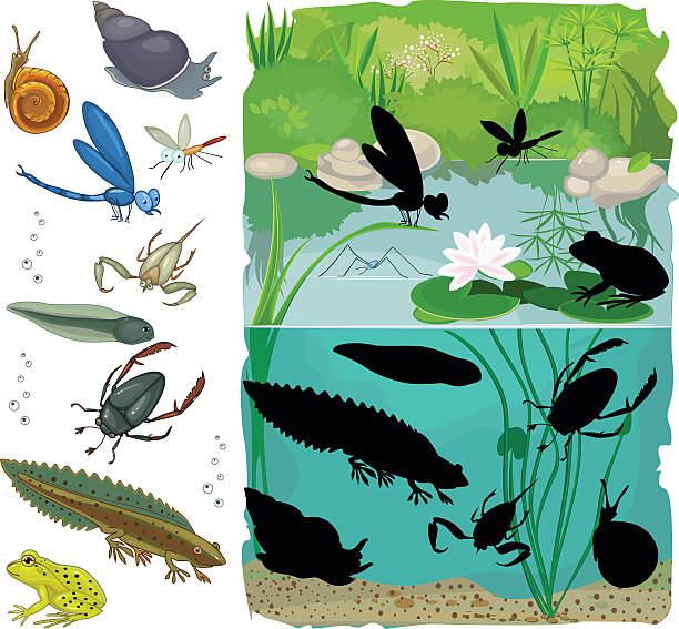 find the shadow of pond inhabitants - amphibians stock illustrations