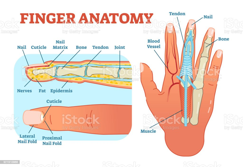 Finger anatomy medical vector illustration with bones, muscle scheme and finger cross section. vector art illustration