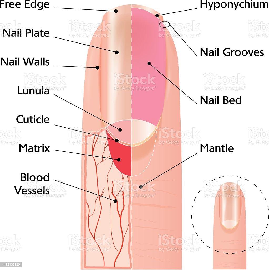 Finger nail structure vector art illustration