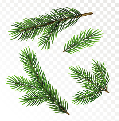 Fir tree branches isolated on white background