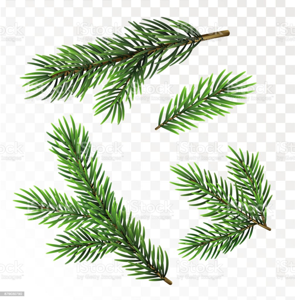 Fir tree branches isolated on white background - illustrazione arte vettoriale