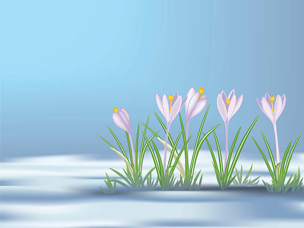 Royalty Free Crocus In Snow Clip Art, Vector Images ...