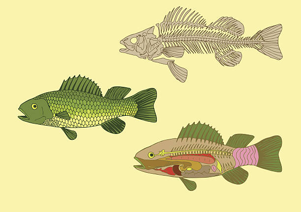 fish , cross-section and skeleton - fish skeleton stock illustrations, clip art, cartoons, & icons