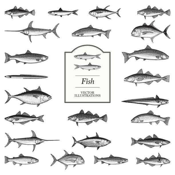 Fish Illustrations Fish illustrations in a traditional style living organism stock illustrations