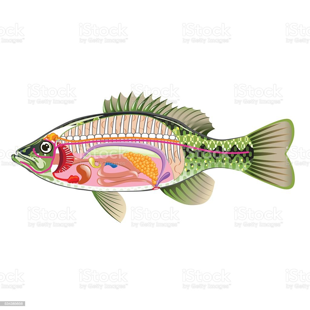Fish Anatomy Diagram Test - Circuit Wiring And Diagram Hub •