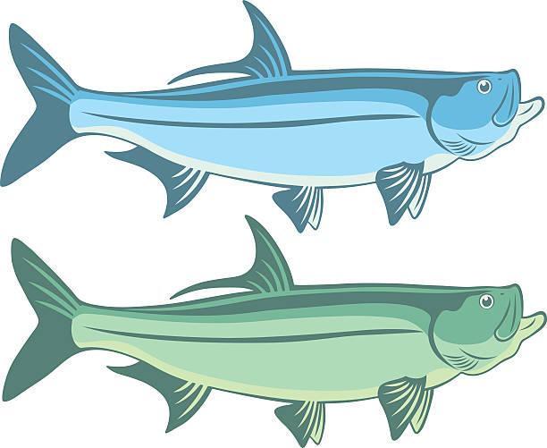 Best Tarpon Illustrations, Royalty-Free Vector Graphics ...