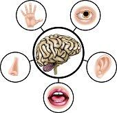 Five senses brain