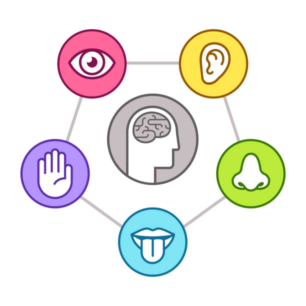 Five senses of perseption Human perception infographic scheme. Five senses (sight, smell, hearing, touch, taste) as represented by organs, surrounding brain. Line icon set, vector illustration. sensory perception stock illustrations