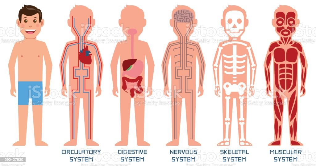 five systems of human body vector illustration stock illustration download image now istock five systems of human body vector illustration stock illustration download image now istock