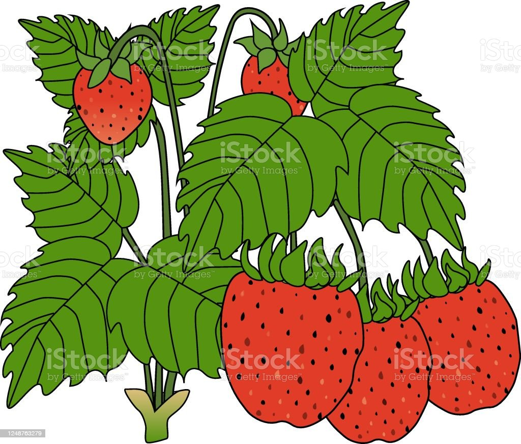 葉っぱ付きの赤いイチゴ野生のイチゴ自然なベクターイラスト みずみずしいのベクターアート素材や画像を多数ご用意 Istock