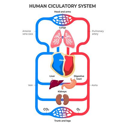 Flat design circulatory system infographic illustration Vector.